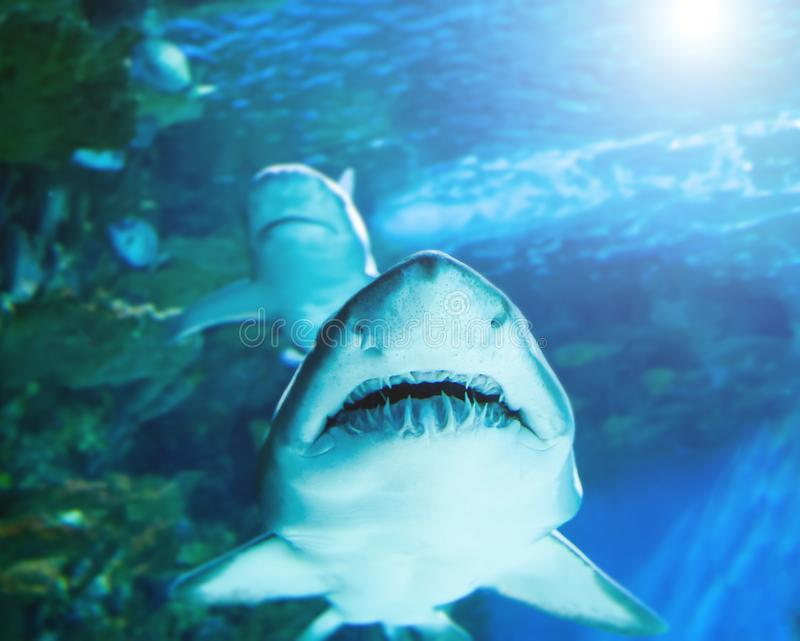 The great white shark in the big blue royalty free stock photography