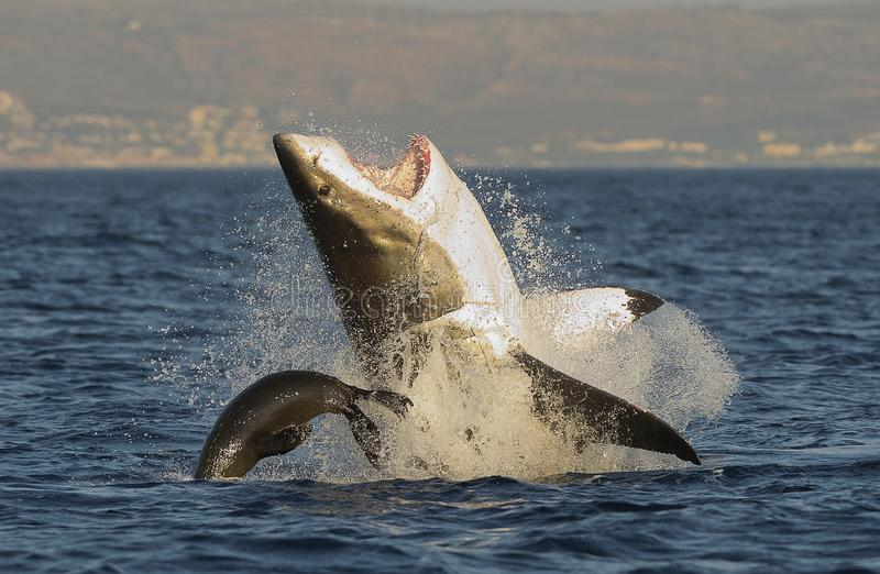 Great White Shark breaching. Great White Shark (Carcharodon carcharias) breaching in an attack on seal , South Africa