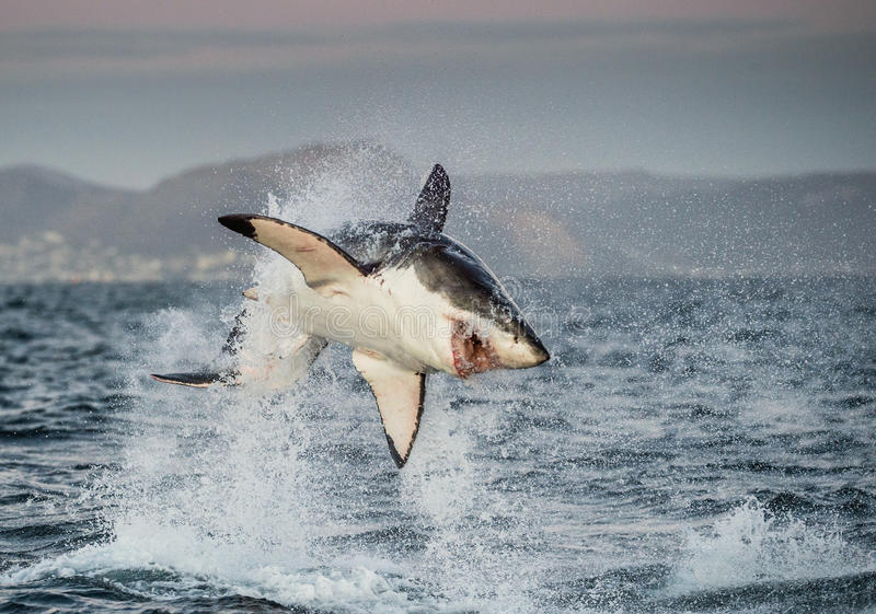 Great White Shark Carcharodon carcharias breaching. In an attack. Hunting of a Great White Shark Carcharodon carcharias. South Africa