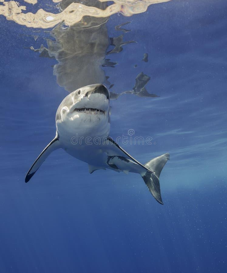 Bull Shark Feeding Stock Image. Image Of Island, Feed