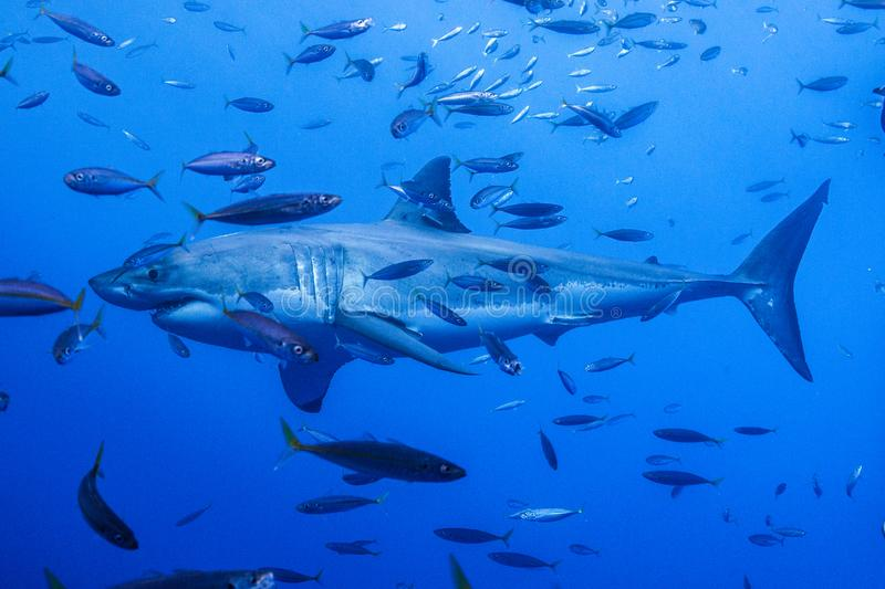 Great white shark diving in Mexico stock photos