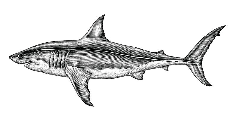 Great white shark hand drawing vintage engraving illustration. Isolated on white background vector illustration