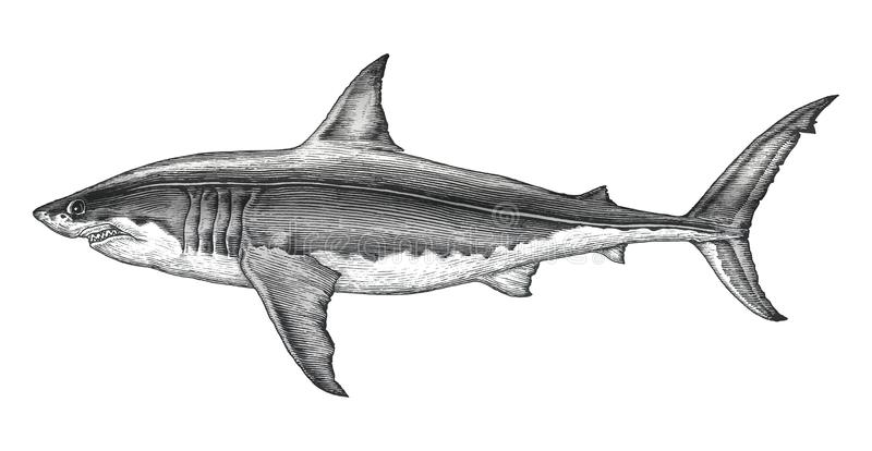 Great white shark hand drawing vintage engraving illustration. Isolated on white background royalty free illustration