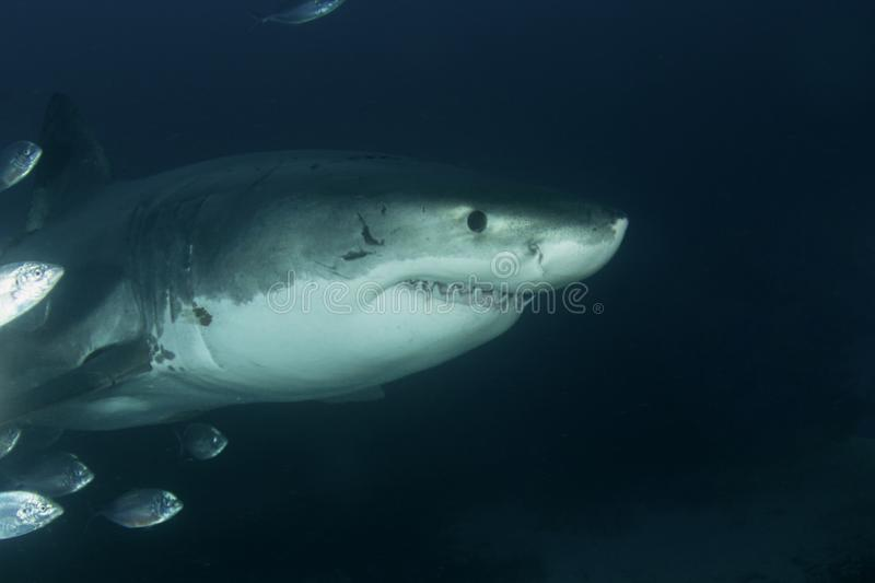 A Great White Shark head shot stock image