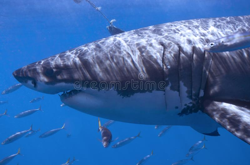 Great white shark. A white shark on the hunt, swimming through a school of mackerel royalty free stock photos