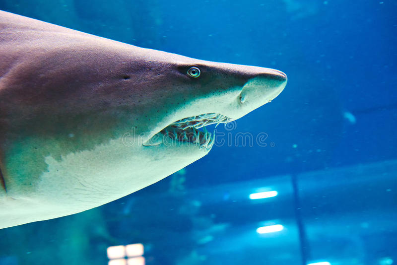 Great white shark in large oceanarium royalty free stock images