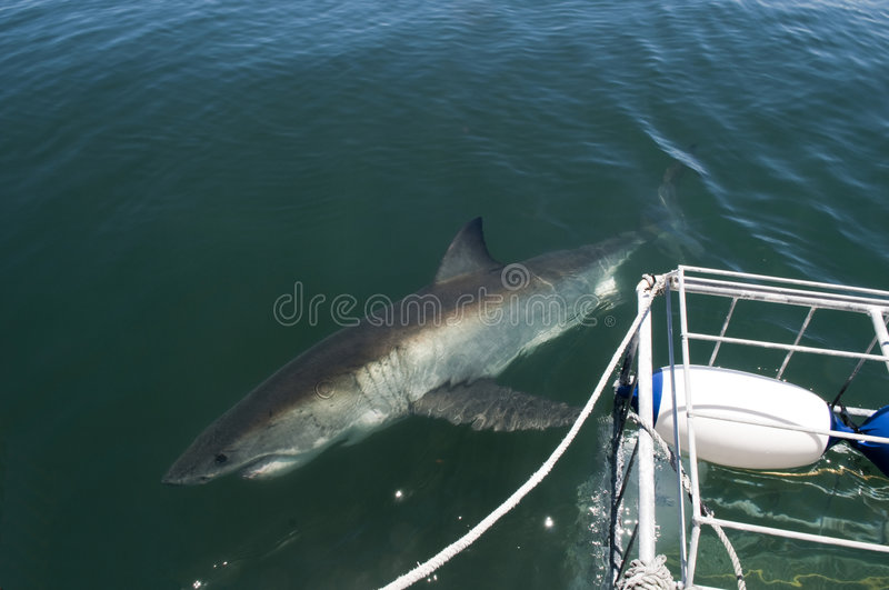 Download Great White Shark Nearby Dyer Island Stock Photo - Image: 7809924