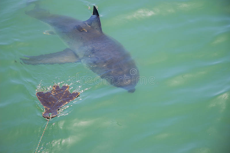Great White Shark Stalking Decoy 1