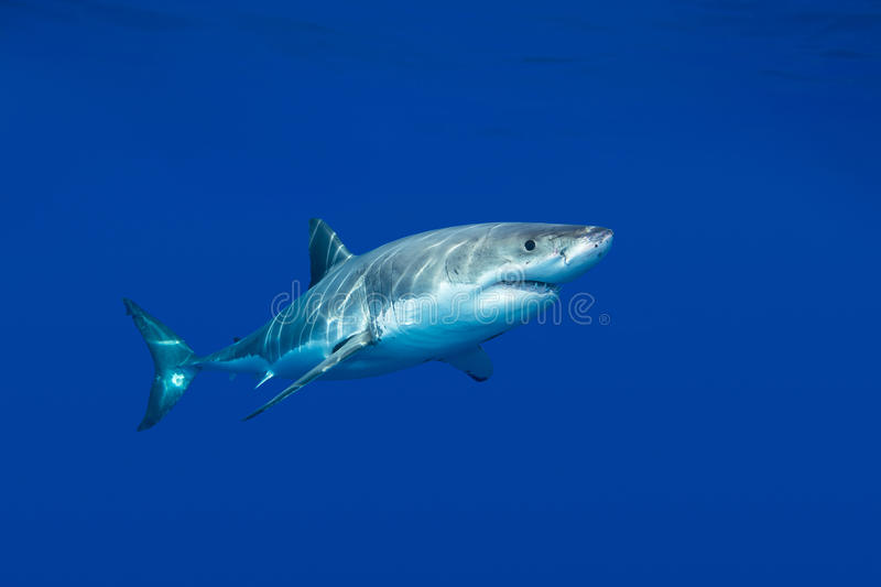 Download Great white shark stock photo. Image of teeth, blue, wildlife - 34192542