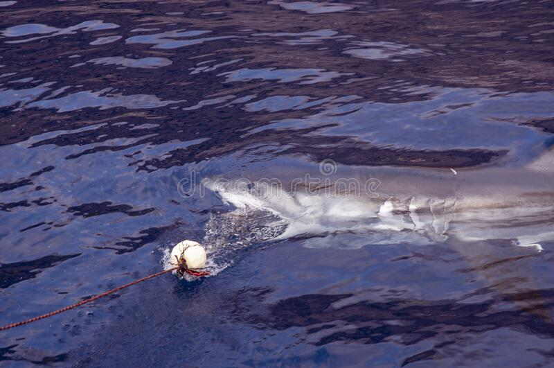 Great White Shark under the surface stock photography