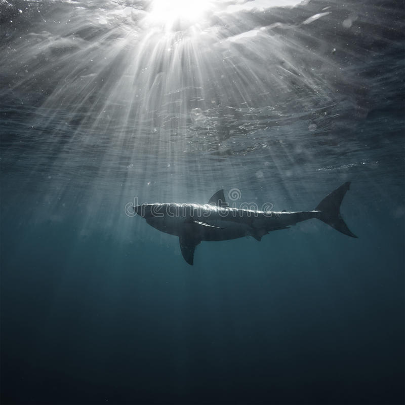 Free Great White Shark Underwater Royalty Free Stock Images - 75896709