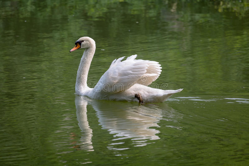 Great white swan swims in the waters. royalty free stock photo
