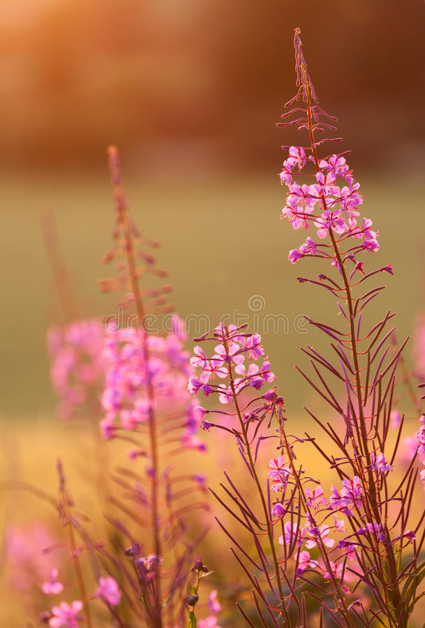 Great Willow-Herb. Is a common perennial in Northern Europe royalty free stock images