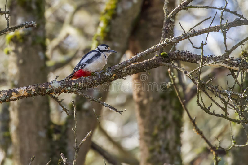 Great woodpecker (Dendrocopos major) stock image