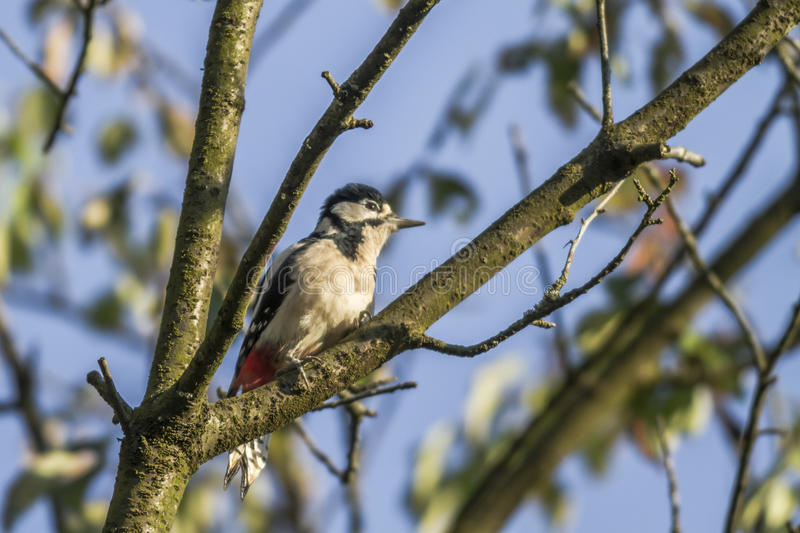 Great woodpecker (Dendrocopos major) stock photo