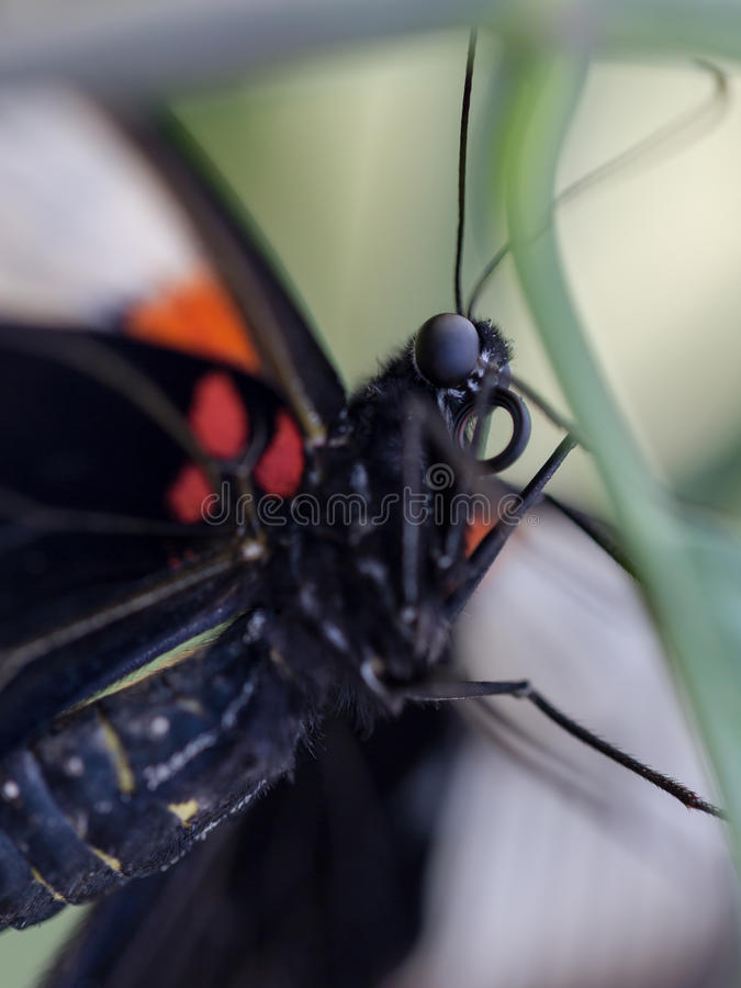 Great Yellow Mormon Papilio lowi female. Eye focus stock photography