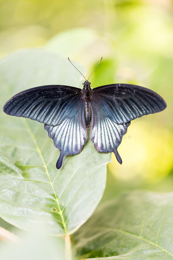Great Yellow Mormon Papilio lowi male with open wings on leaf stock photo