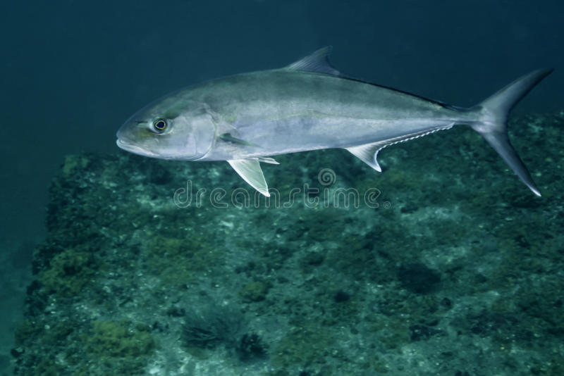 Download Greater Amberjack - Macs Reef Stock Photo - Image: 20452388