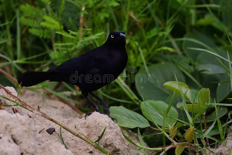 Greater Antillean grackle quiscalus niger. Portrait of a greater Antillean grackle quiscalus niger perching on the ground stock photos
