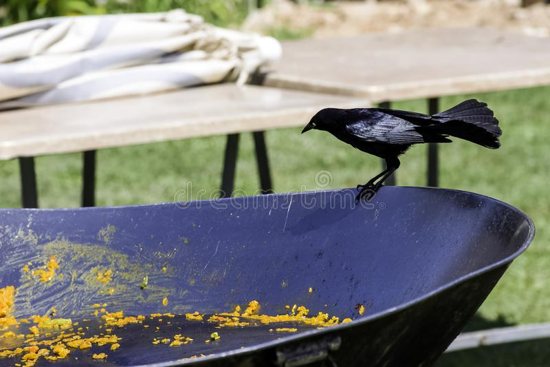 Greater Antillean grackle / Quiscalus niger during Cuban lunch - Varadero, Cuba. The Greater Antillean grackle / Quiscalus niger / during Cuban lunch - Varadero royalty free stock photography