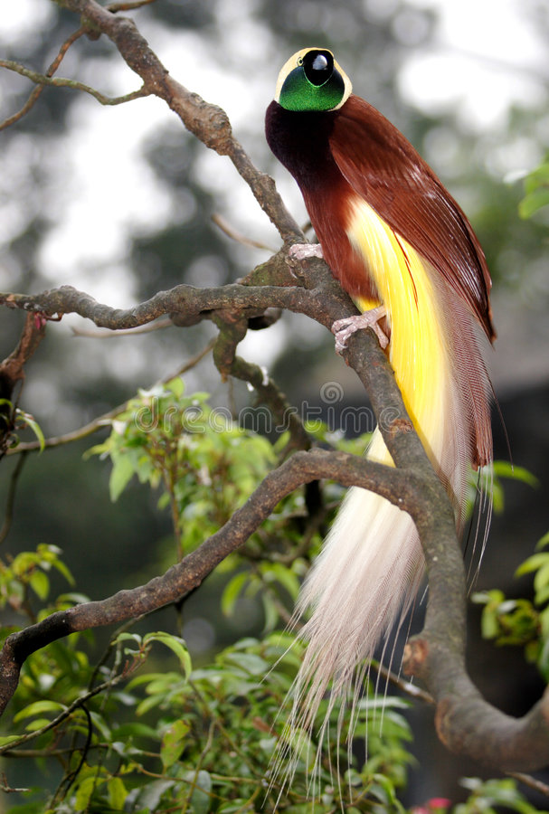 Greater Bird Of Paradise. One of the most beautiful birds in the world