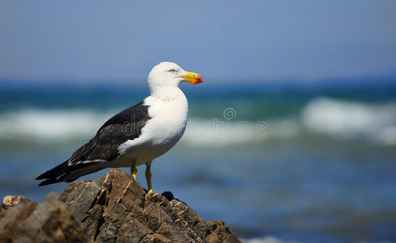 Greater Black-backed Gull stock photos