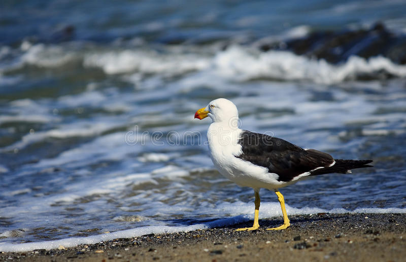 Greater Black-backed Gull royalty free stock photo