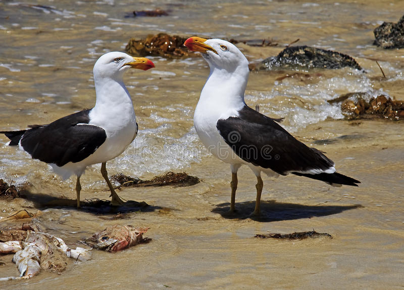Greater Black-backed Gull stock photo