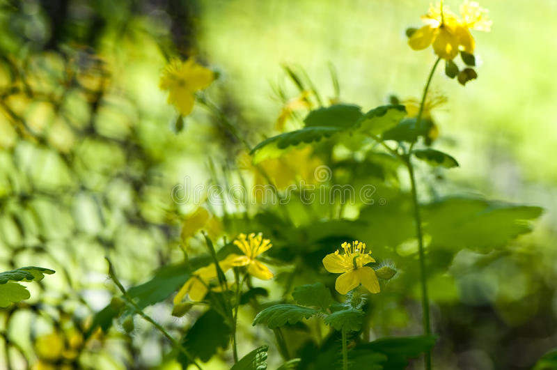 Greater celandine royalty free stock photos