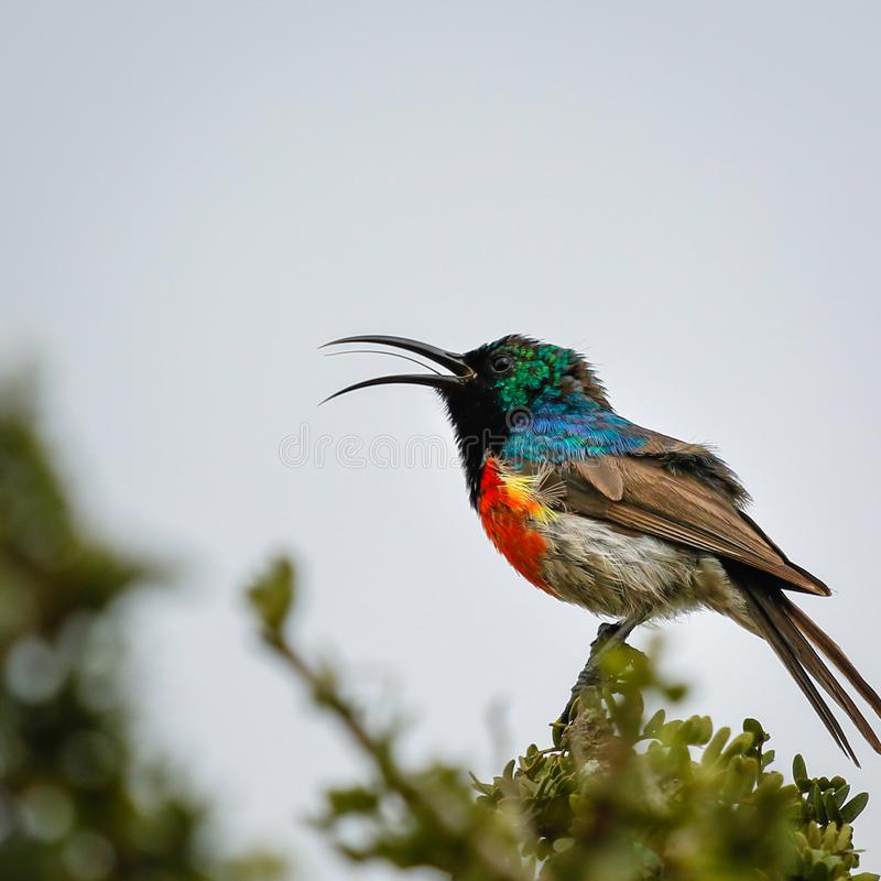 Greater double-collared sun bird. Sitting in tree singing a song. Long thin tongue visible royalty free stock image