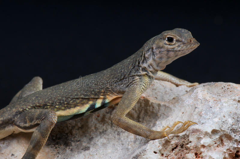 Greater earless lizard. The greater earless lizard,Cophosaurus texanus,is a species of earless lizard found in the southern United States, in the states of Texas royalty free stock image