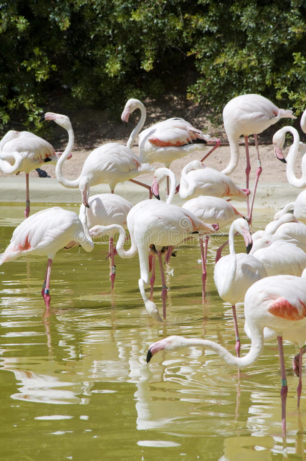 Download Greater Flamingo stock photo. Image of long, copy, feathers - 15547282