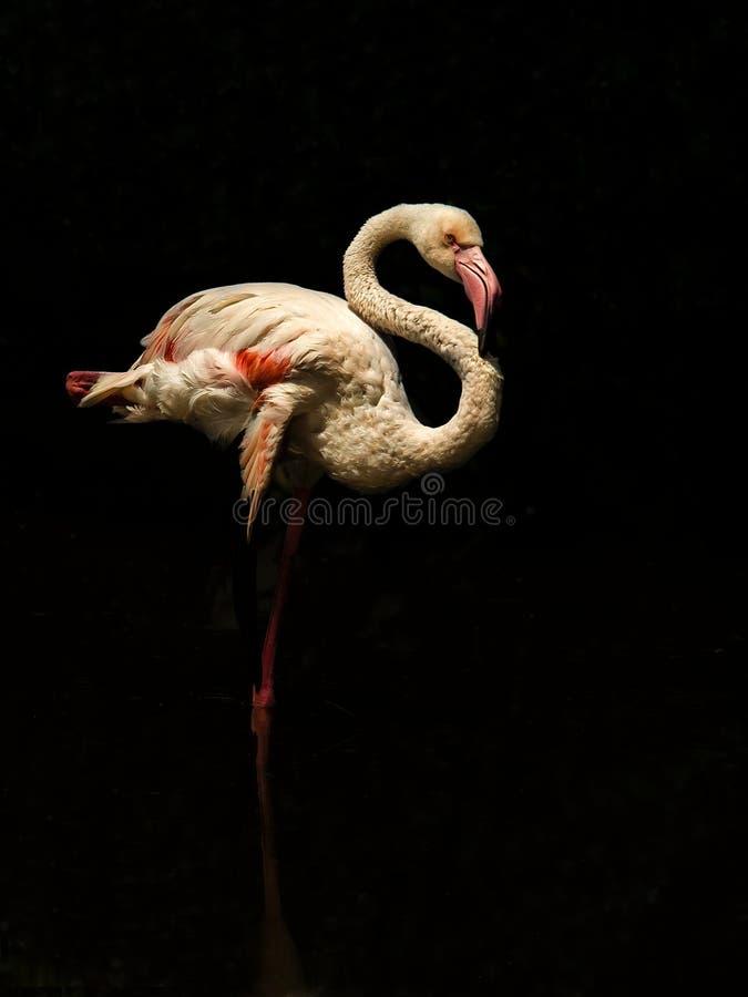 Free Greater Flamingo 2 Stock Photos - 40962093