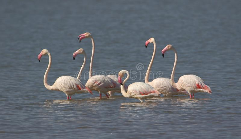 Greater flamingo family fun in the water. stock image