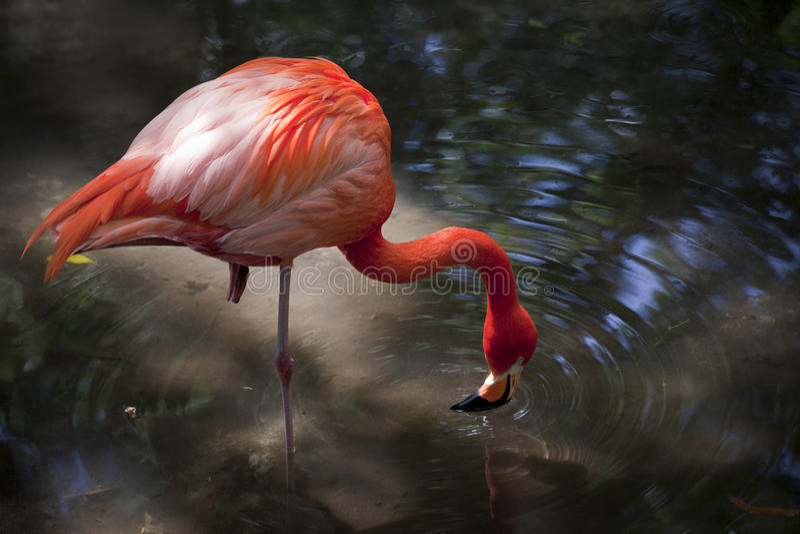 Greater Flamingo Feeding - Homosassa Springs. Greater Flamingo, Phoenicopterus roseus, standing on one leg feeding in a creek at water fowl island at Homosassa stock photos