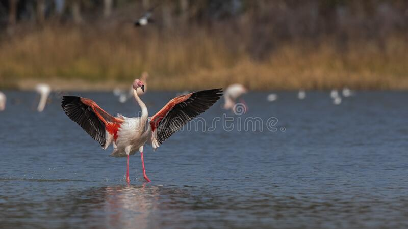 Greater Flamingo Flapping Wings. Greater flamingo, Phoenicopterus roseus, is flapping its wings on pond royalty free stock photo