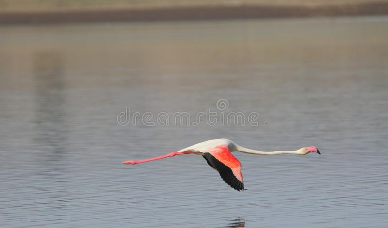 Greater flamingo are flying stock image