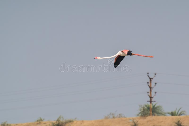Greater Flamingo Flying in the Sky royalty free stock photos
