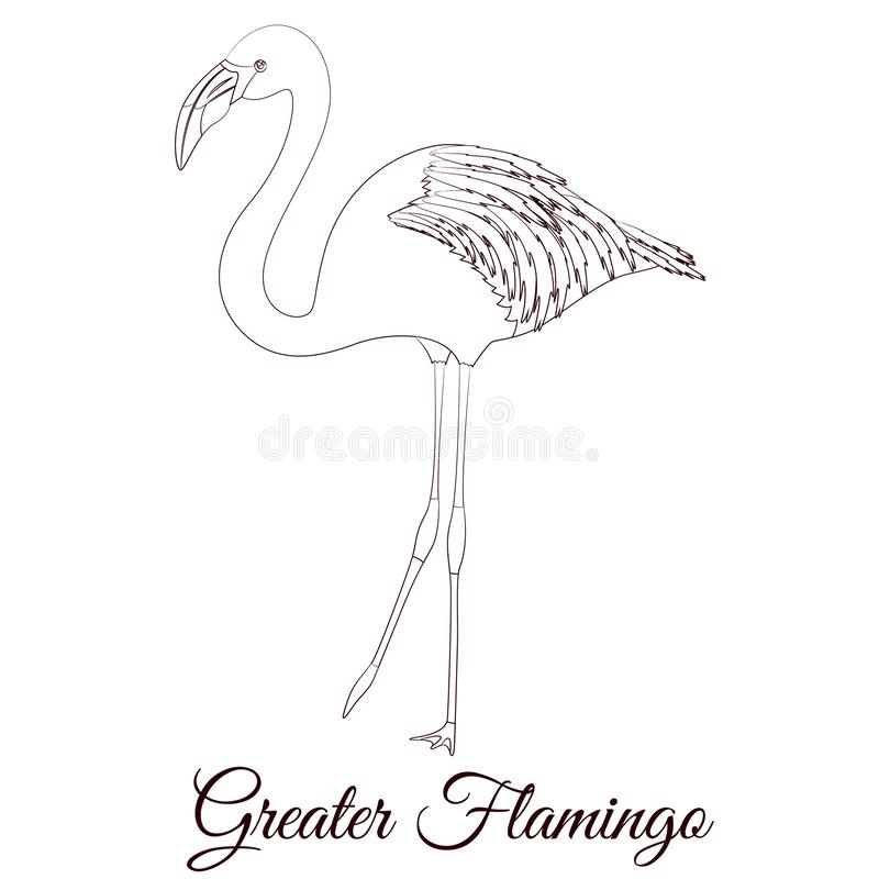 Greater flamingo outline bird. Vector coloring royalty free illustration