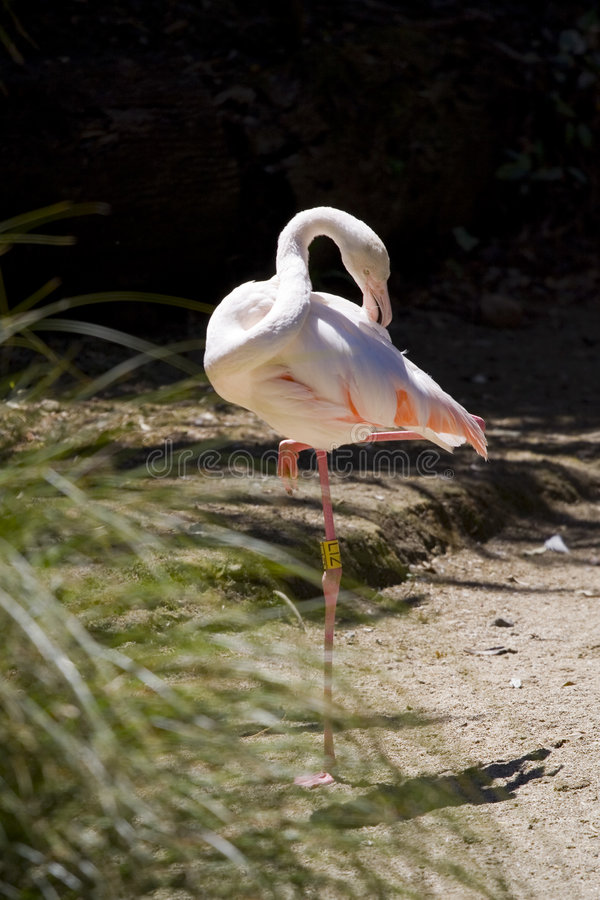 Download Greater Flamingo (Phoenicopterus Roseus) Stock Image - Image: 5084089