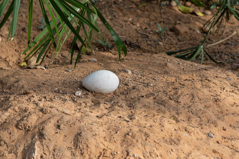 A greater flamingo Phoenicopterus roseus egg in a sandy nest waiting to be hatched at sunset in Al Ain, United Arab Emirates. UAE stock photography
