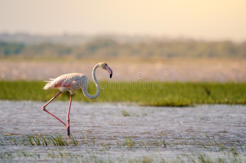 A greater flamingo phoenicopterus roseus in shallow waters in Isimangaliso Wetlands park, St. A greater flamingo phoenicopterus roseus perfectly posed standing royalty free stock image