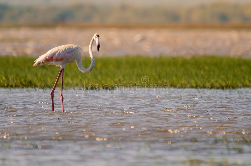 A greater flamingo phoenicopterus roseus standing in shallow waters in Isimangaliso Wetlands park. St. Lucia, South Africa royalty free stock photo
