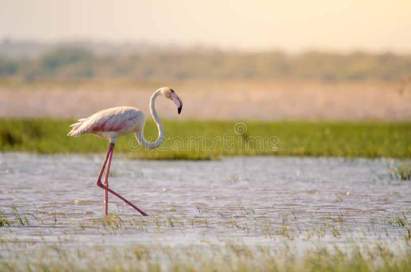A greater flamingo phoenicopterus roseus, walking through shallow waters in Isimangaliso Wetlands park, St. A greater flamingo phoenicopterus roseus perfectly royalty free stock photo