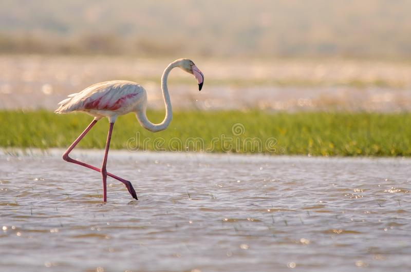 A greater flamingo phoenicopterus roseus walking through shallow waters, St. Lucia, South Africa. A greater flamingo phoenicopterus roseus walking through stock photo