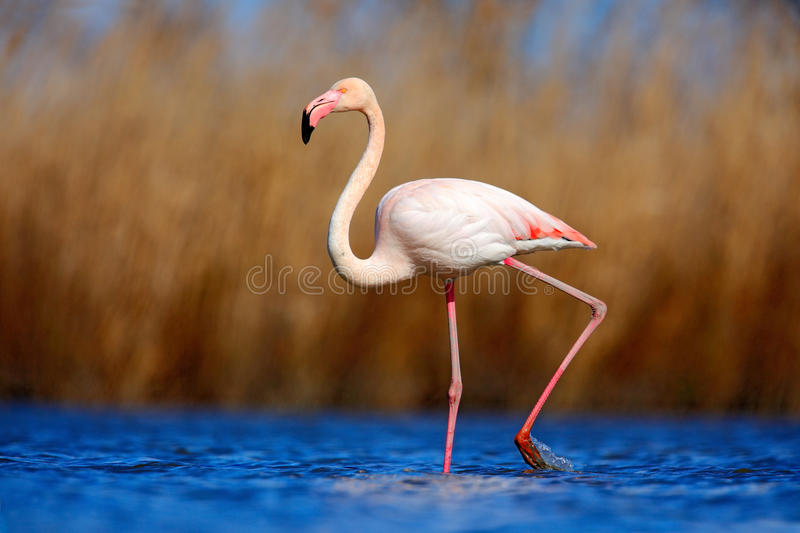 Greater Flamingo, Phoenicopterus ruber, beautiful pink big bird in dark blue water, with evening sun, reed in the background, anim. Al in the nature habitat royalty free stock photo