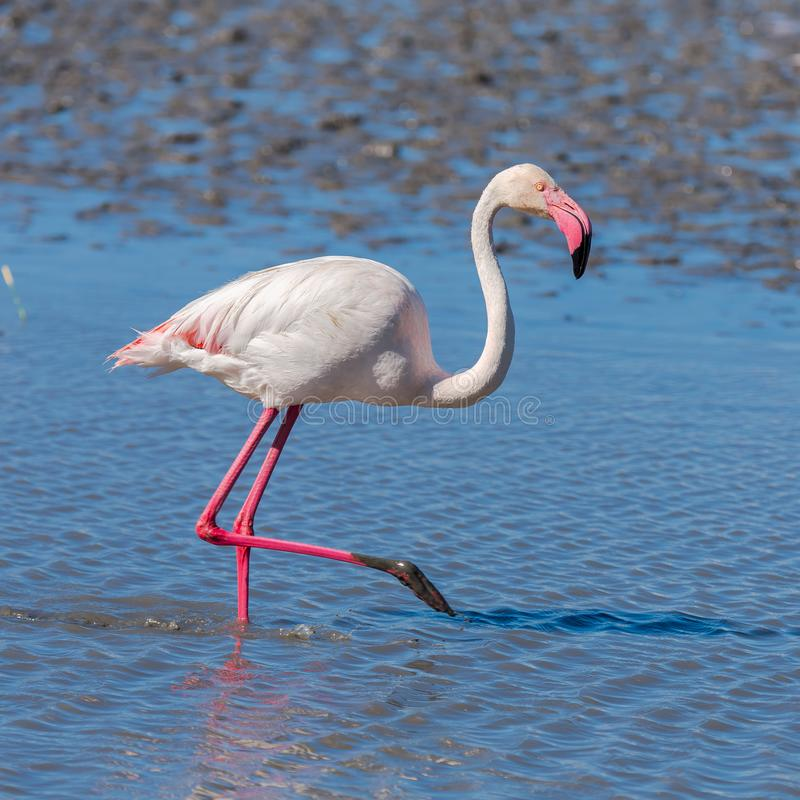 Pink Flamingo. Greater Flamingo, pink bird eating in the lake in Camargue royalty free stock photography