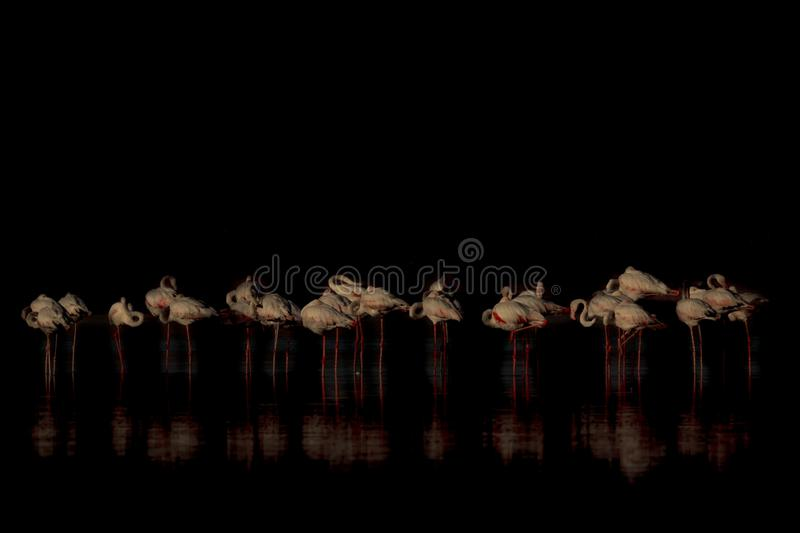 Greater Flamingo Tall pink bird,  long lean curved neck, black-tipped bills, bent bills,  long legs and webbed feet, royalty free stock photography