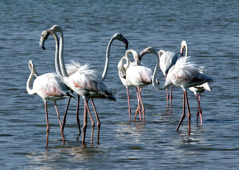 Greater flamingo. Flamingo is very beautiful bird. this species lays a single chalky - white egg on a mud mound. most of the plumage is pinkish- white, but the stock image