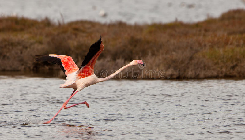 Download A Greater Flamingoes Effort Stock Photo - Image: 22251928